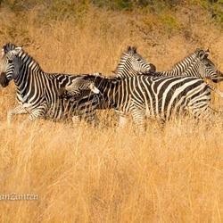 Zebra quarrel