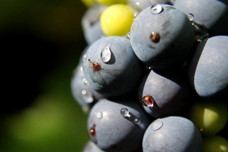 Regent, blauwe druif - Tijdens een regenachtige dag toch even de achtertuin ingedoken!