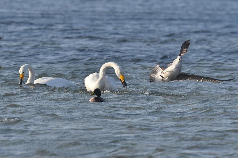 vervelende meeuw - Mooie serie foto's kunnen maken van een groepje wilde zwanen. Ze werden wel vreselijke lastig gevallen door meeuwen die probee