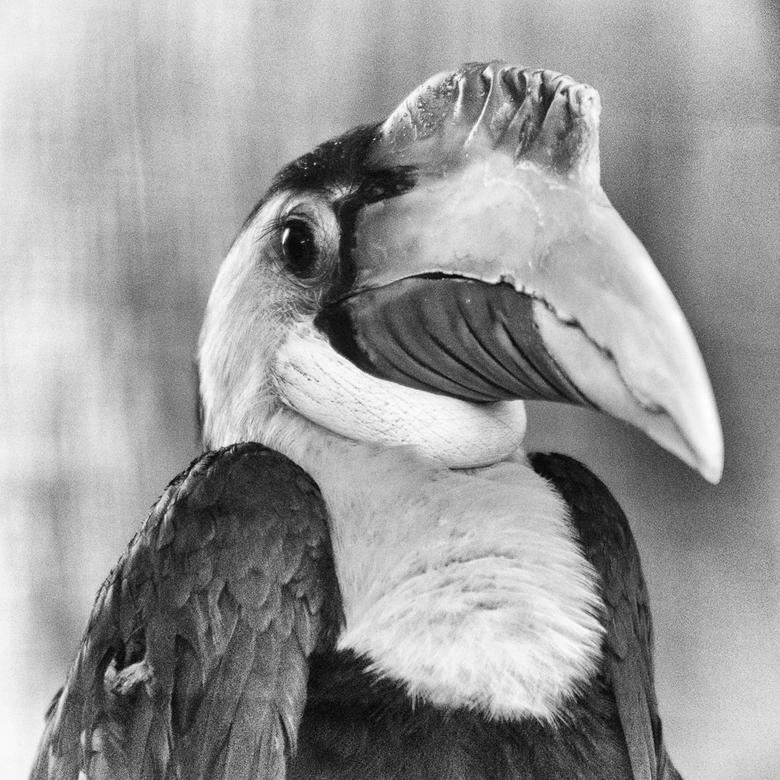 Neushoornvogel - Mentoraat 3 -