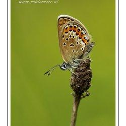 Heideblauwtje (vrouwtje)