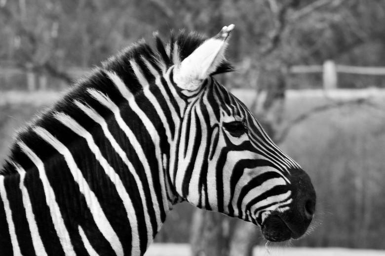 zwart/wit - zebra portret in zwart/wit