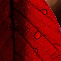 beukenblad details