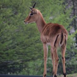 Impala - Aepyceros melampus