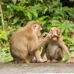 Apen in Thailand