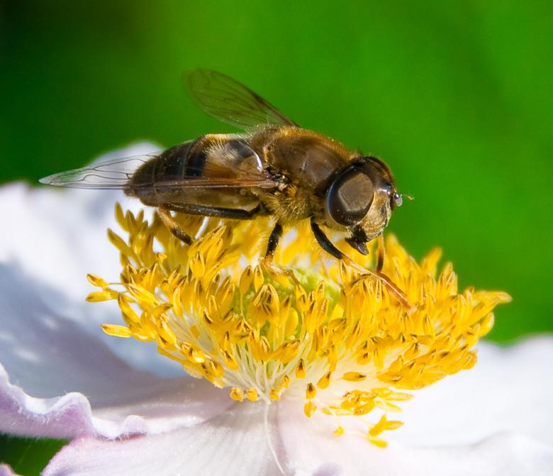 Dinnertime - Een zweefvlieg is lekker aan het eten!