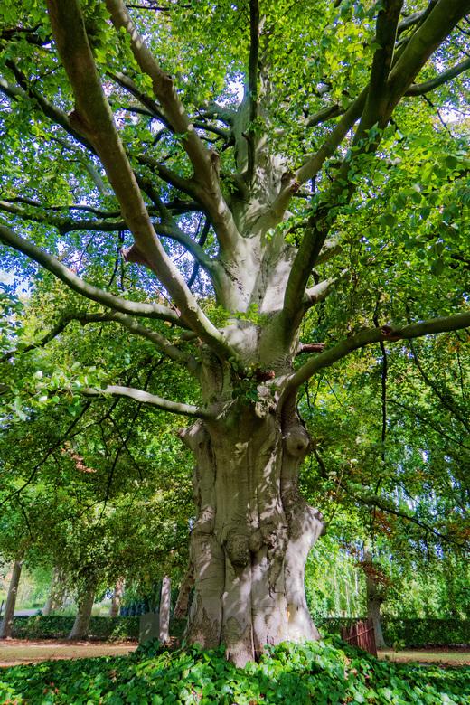 oude boom - Deze boom is mischien wel geplant door Napoleon