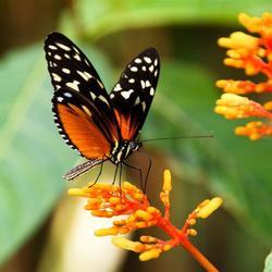 Costa Rica, vlinder