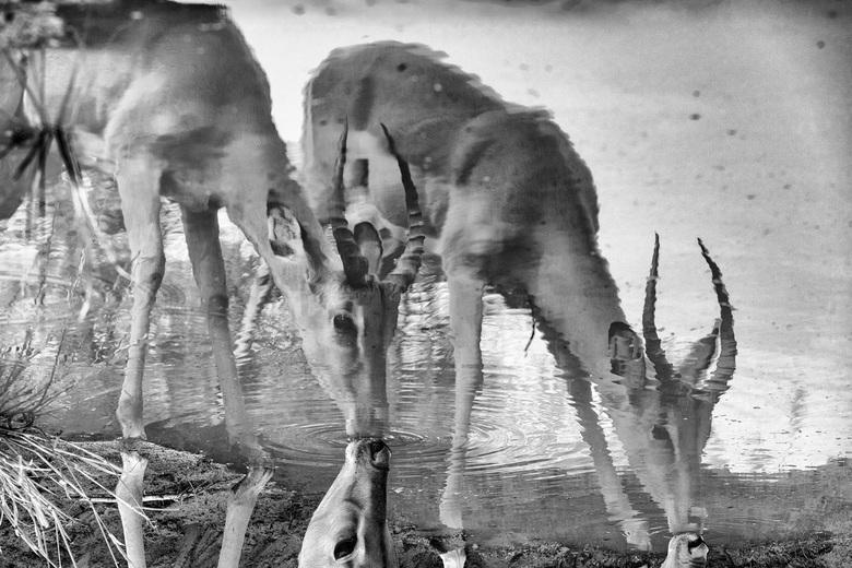 Dangerous Waters - Het blijft altijd risicovol voor impala's om te drinken. Het gevaar bij het water ligt altijd op de loer. Heb de nadruk gelegd