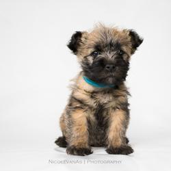 Cairn puppy.