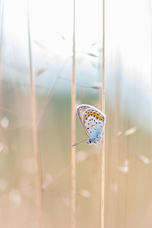 Heideblauwtje  - heide blauwtje / Icarus gefotografeerd in de vroege ochtend