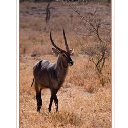 Waterbuck, Serengeti