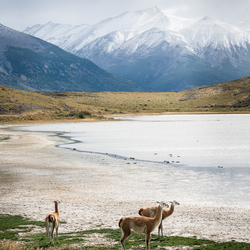 Guanaco's in landschap