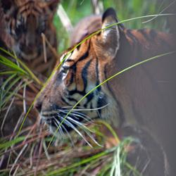 Speurende tijger