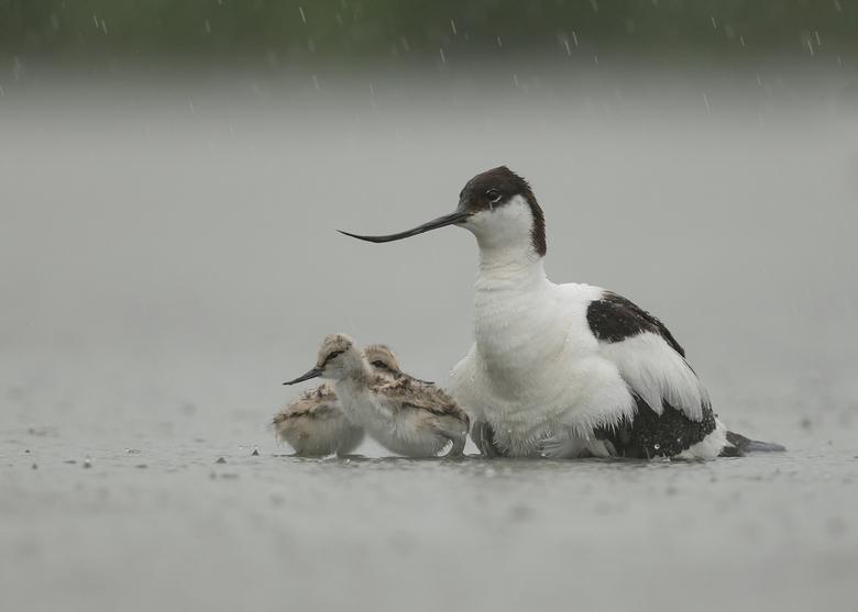 Koud, regenachtig voor de jongen! - De voortdurende regen van morgen noodzaakte de jonge kluten om af en toe onder de vleugels van de ouder weer op te