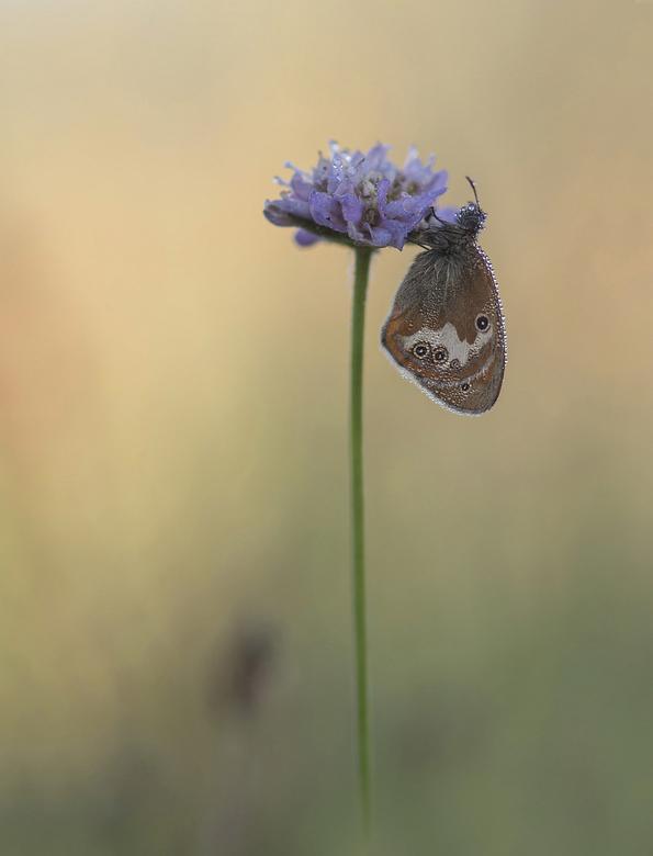 A perfect morning - Lage temperaturen, grondmist, windstil en een flauw zonnetje: voor mij de perfecte morgen. Foto toont een Tweekleurig hooibeestje.