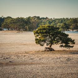Eenzame boom bij Soesterduinen