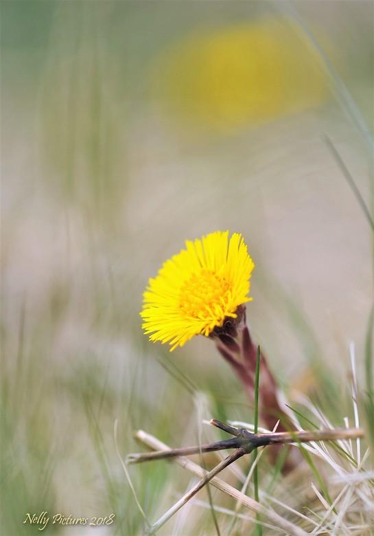 Klein hoefblad in de lente - Heel voorzichtig wordt het weer geel in de bermen.