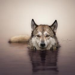 Wolfhond in het water