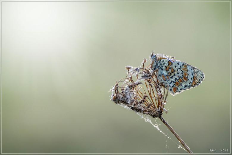 veldparelmoer - een van de vlindertjes die bij ons in de buurt zitten