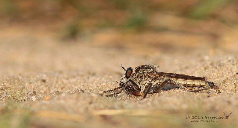 Roofvlieg? - Deze kwam ik afgelopen zomer tegen op een bospad en volgens mij is het een roofvlieg die een hapje heeft verschalkt, maar welke roofvlieg