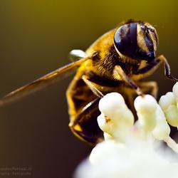 Bij op een bloem macro