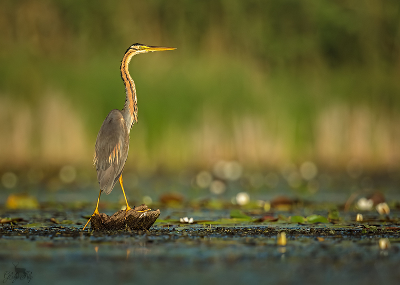 A beauty - Deze purperreiger kwam ik tegen op een meer tijdens een boottochtje. Een mooie statige vogel. Snel een foto gemaakt voordat hij er weer van