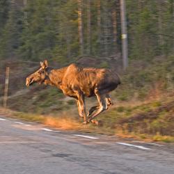 Jumping Moose