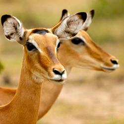 Impala vrouwtjes
