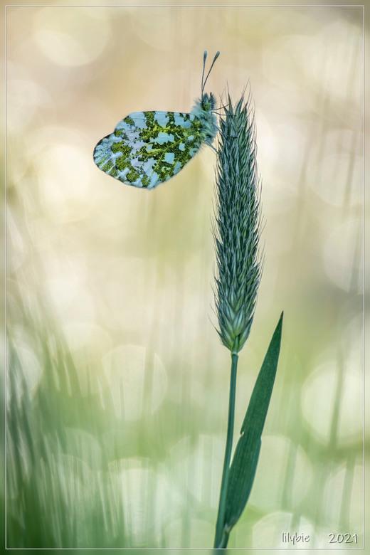 oranje tipje - een van de eerste vlinders die we dit jaar weer zullen tegenkomen