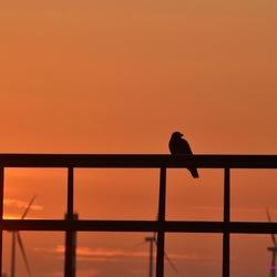 Kraaien in de zonsondergang