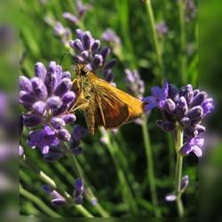 Dikkop op Lavendel