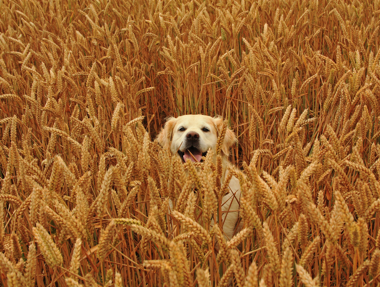 Kyra aan het verstoppertje spelen - Verstoppertje spele in het tarwe veld