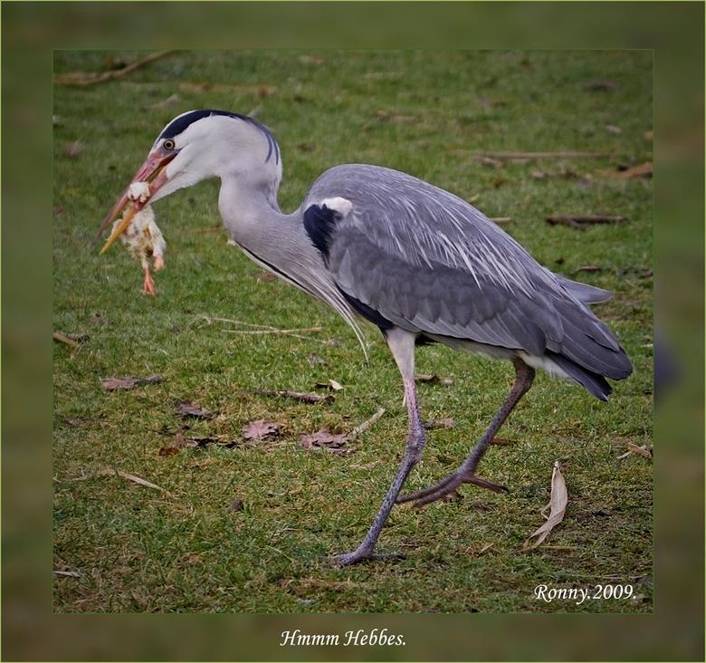 Hmmm Hebbes. - deze reiger was zo stout om voedsel weg te kapen van bij de ooievaars !!! maar was dan wel verzekerd van een voor hem héérlijke maaltij