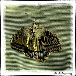 Vlinder in goud