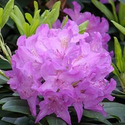 BLOEMEN PLANTAGE 21-05-2012 PINK RIBBON