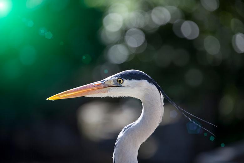 The heron - Deze reiger hield mij telkens in de gaten maar ik liep heel voorzichtig naar voren om deze reiger dichterbij te kunnen fotograferen. <br /