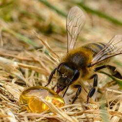 A drop of honey.....delicious