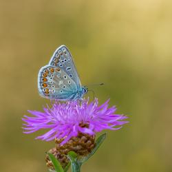 Nectar drinkend blauwtje