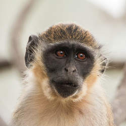 Fluweel aap