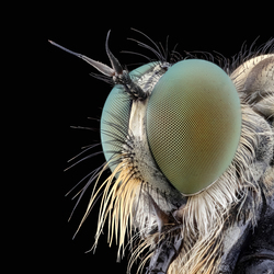 Het Portret van een Roofvlieg