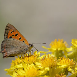 Lycaena Phlaeas (Kleine Vuurvlinder).