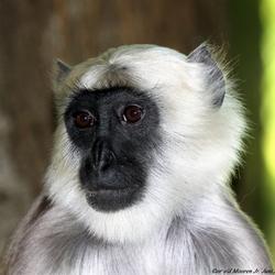 Hanuman Langoeren aap.