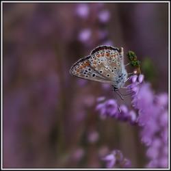 Blauwtje in lila