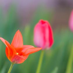 Tulpen in mijn tuintje