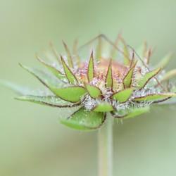 bloemknop met dauwdruppels