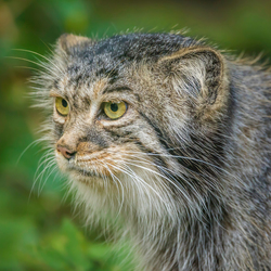 Pallas kat