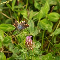 vrouwtje van het icarusblauwtje