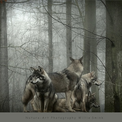 Wolves !!!