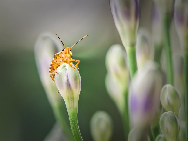 Nice overview - Een parmantige wants op een bloemenknop.<br /> <br /> In onze tuin zitten veel wantsen. Het is een fotogeniek beestje. Ze hebben moo